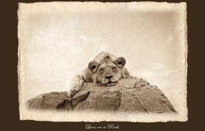 Chris-Dei-Lion-on-a-rock