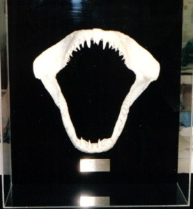 Jaws_shark teeth_plexiboxes_shadowboxes_memorabilia framing_medals_sports jerseys_​document framing_archival_framing_